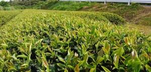 春摘み紅茶2017