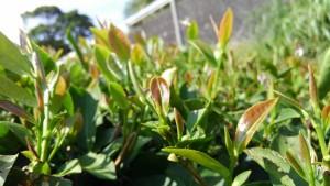 20170608 初夏摘み紅茶2017収穫画像